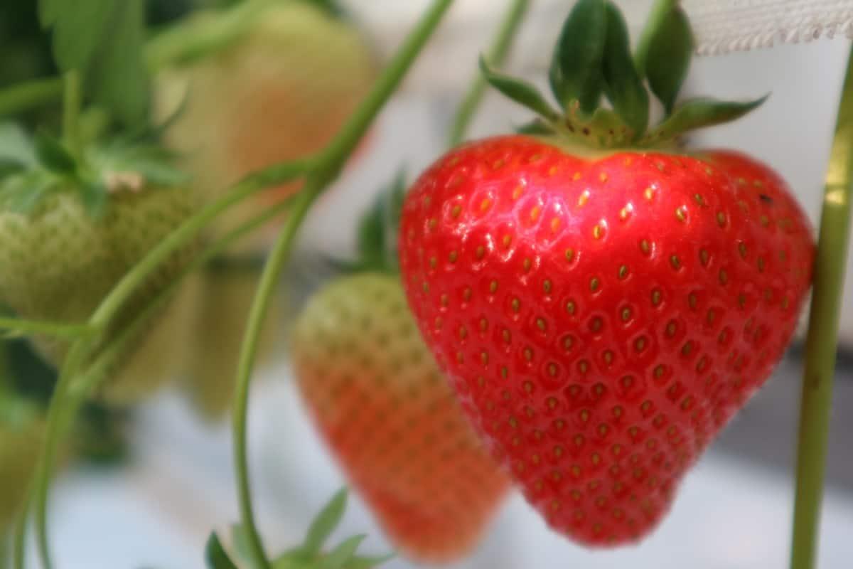De groei van onze aardbeien