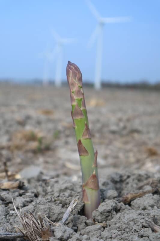 De eerste groene asperge van 2021