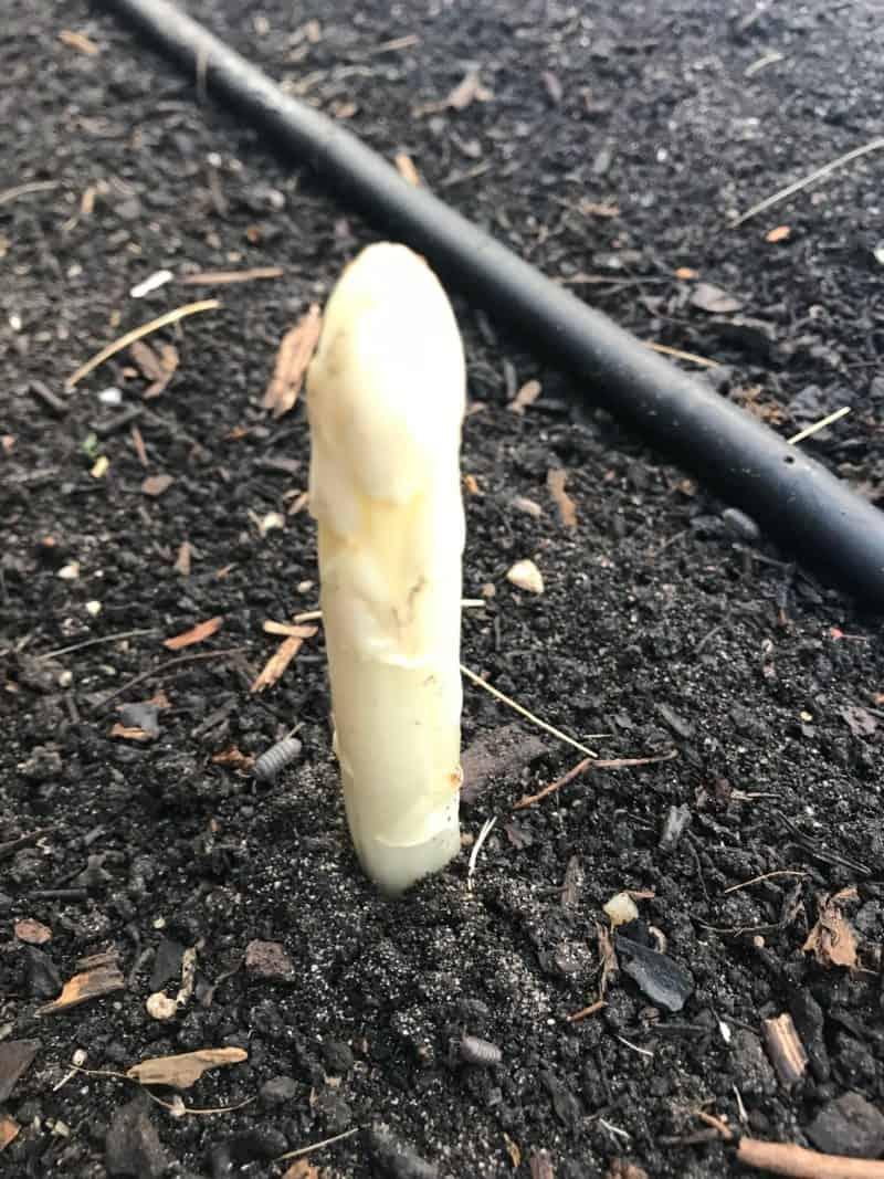 Het eerste kopje witte asperges is boven gekomen