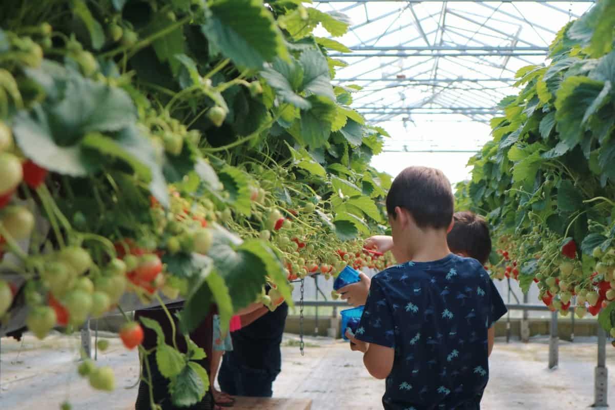Zelf aardbeien plukken start eerder!