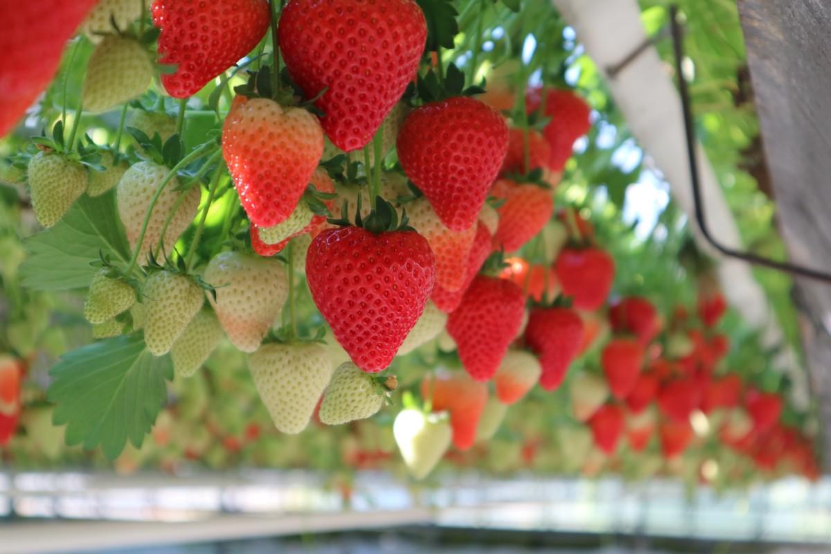 Volop aardbeien verkrijgbaar by Broersen