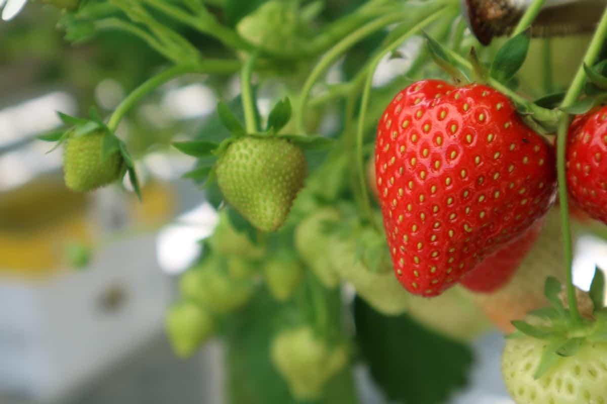 Ook de aardbeien zijn verkrijgbaar in de boerderijwinkel