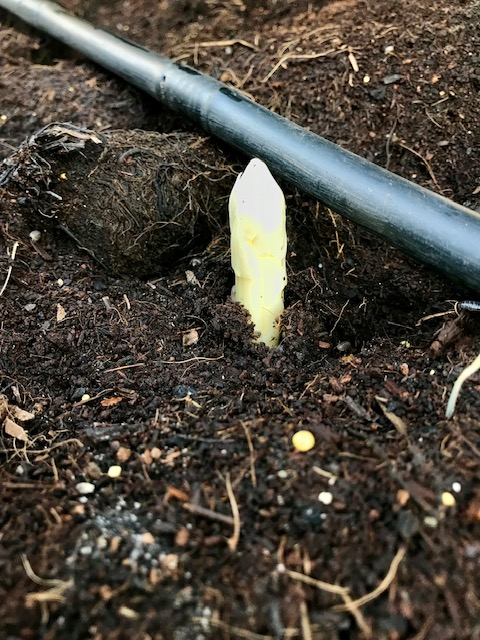 Het eerste kopje witte asperge
